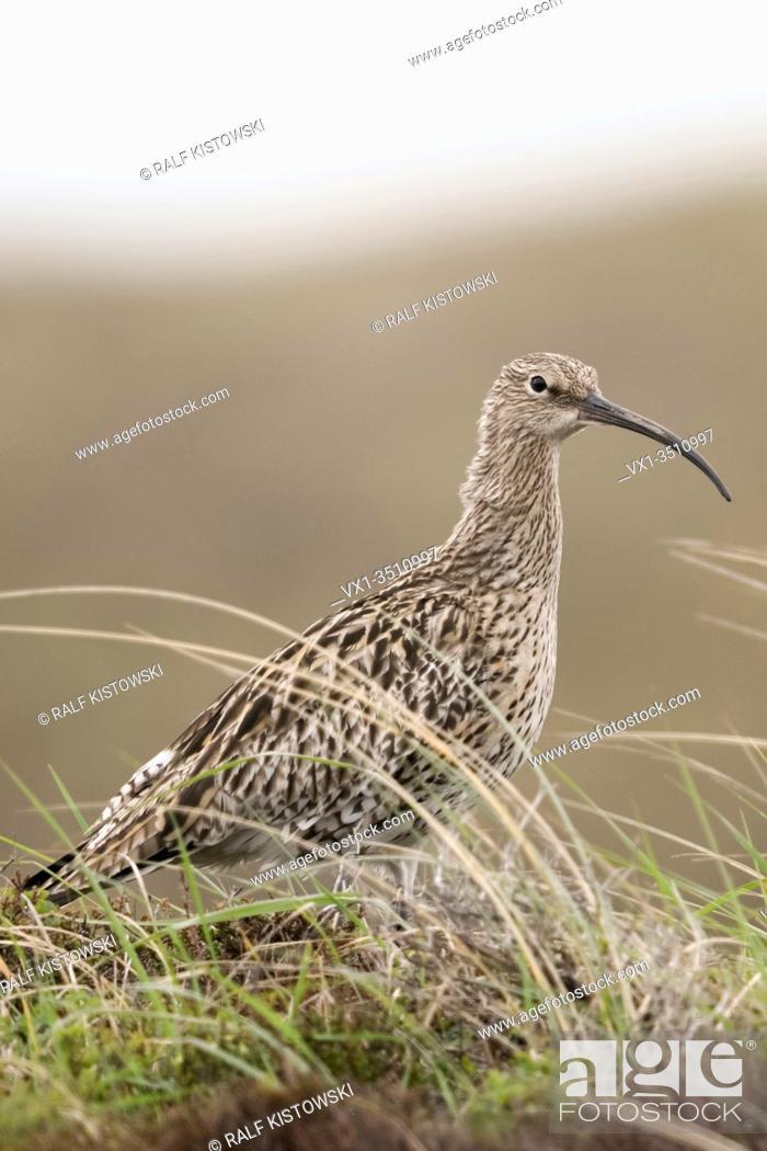 Stock Photo: Eurasian Curlew / Grosser Brachvogel ( Numenius arquata ) in the dunes, in typical surrounding, wildlife, Europe.