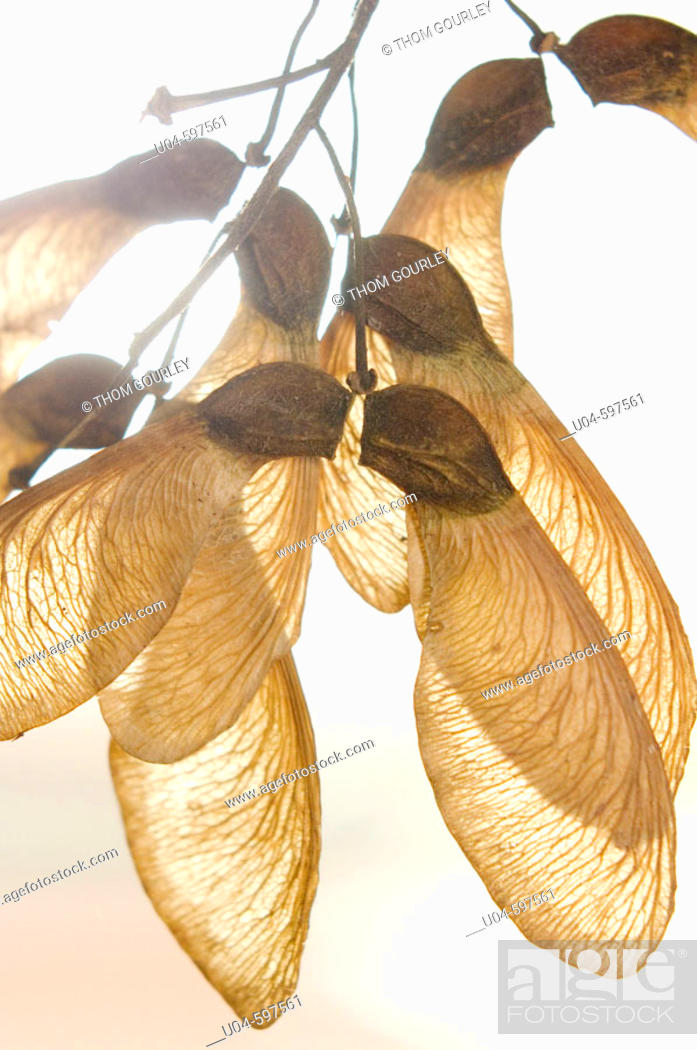 Stock Photo: Winged maple seeds.