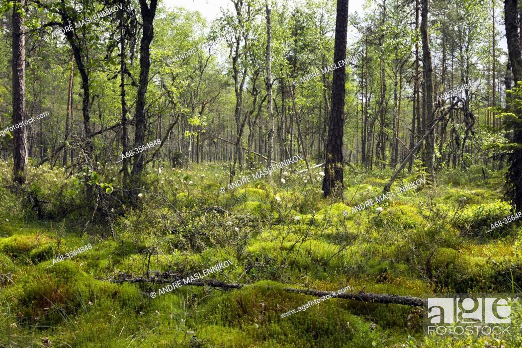 Stock Photo: Fermansbo urskog, ett naturreservat utanför Ramnäs som delvis drabbades av den stora skogsbranden i Västmanland 2014. Photo André Maslennikov.