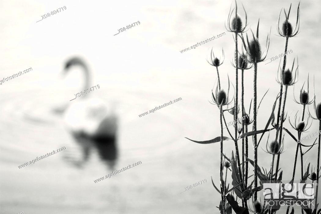Stock Photo: Mute Swan Cignus olor and dried thistles Dipsacus fullonum.