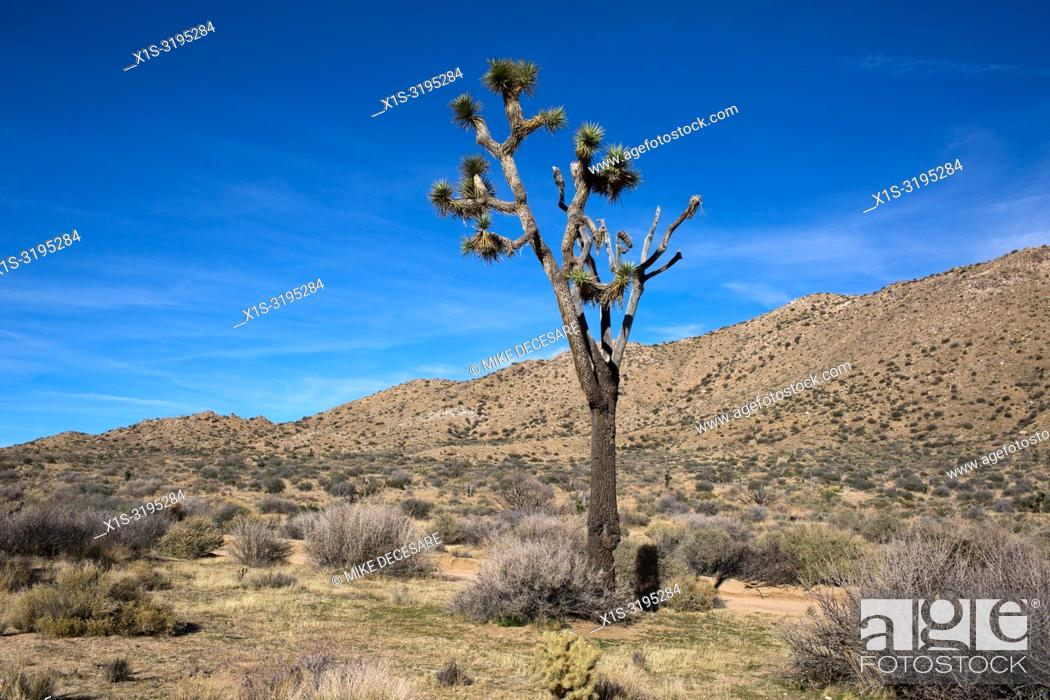 Stock Photo: Covington Flats Wilderness in Joshua Tree National Park has an abundance of the iconic trees but they are vanishing because of climate change.