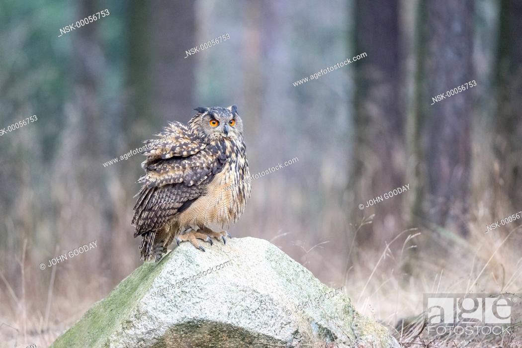Imagen: Eurasian Eagle-owl (Bubo bubo) sitting rock in a forest clearing, Czech Republic, South Bohemia, Zdarske vrchy.