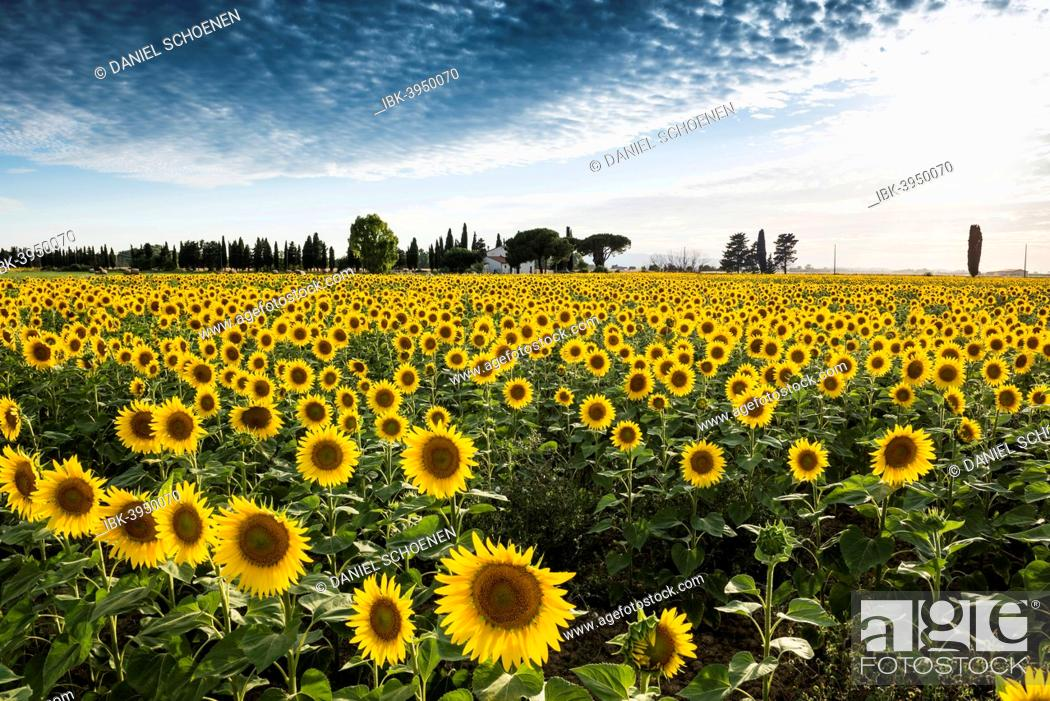Stock Photo: Sunflower field with pine trees and cypress trees, near Piombino, Province of Livorno, Tuscany, Italy.
