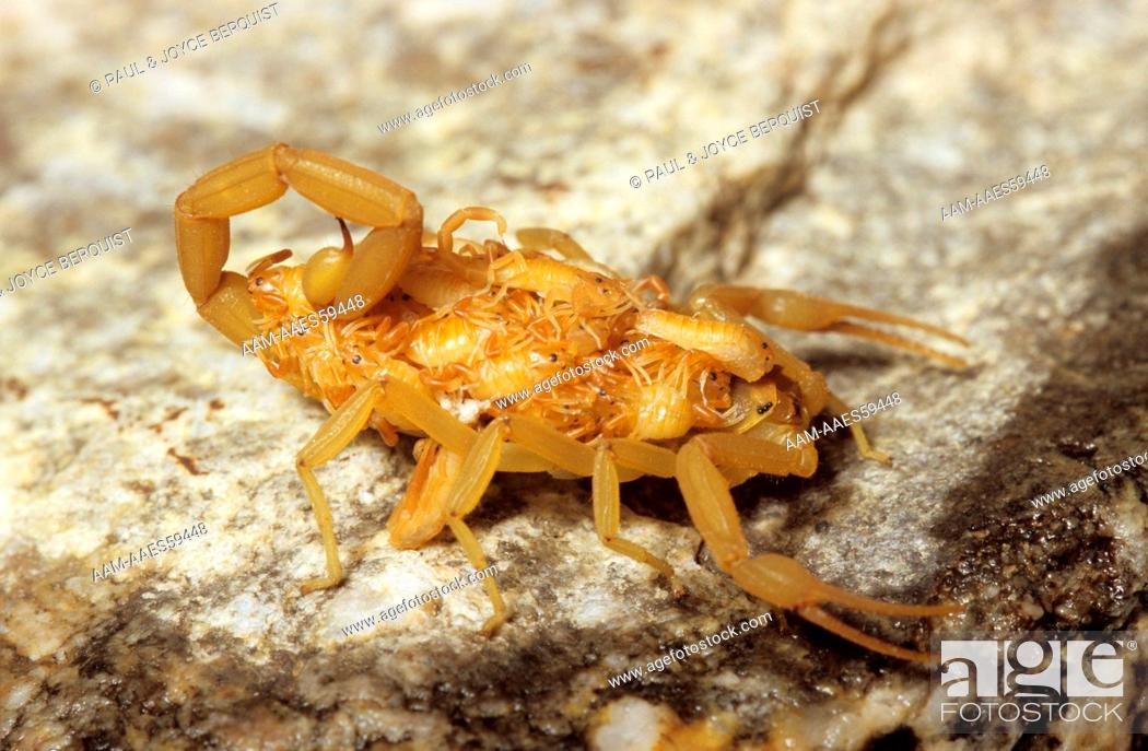 Bark Scorpion with Babies on Back (Centruroides sculpturatus