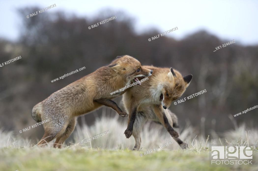 Imagen: Red Foxes / Rotfuechse ( Vulpes vulpes ), two adults in agressive fight, fighting, biting each other, territorial behaviour, rutting season, wildlife, Europe.