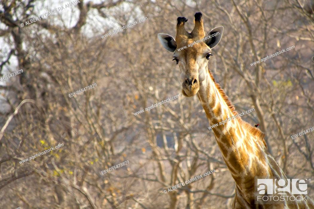 Imagen: Giraffe, Giraffa camelopardis, Chobe National Park, Botswana, Africa.