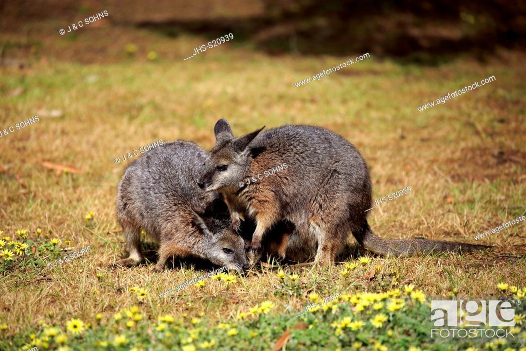 Stock Photo: Tammar Wallaby, (Macropus eugenii), Dama-Wallaby, two adults feeding, Kangaroo Island, South Australia, Australia.