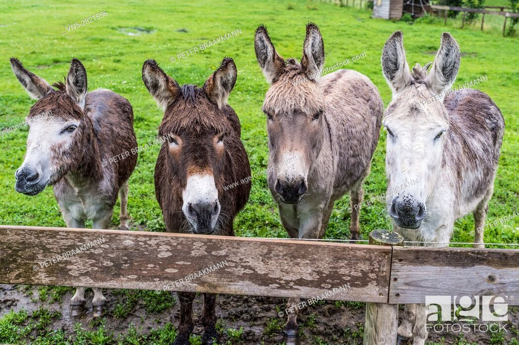 Stock Photo: Four donkeys can look in a pasture behind a fence planks.