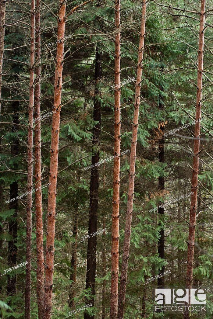 Imagen: Scots Pine Forest at Lousã Mountain, Portugal.