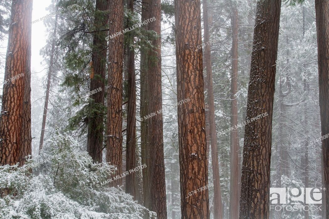 Stock Photo: Redwood Trees in Winter Mist from fresh snow, Yosemite National Park, California, USA.