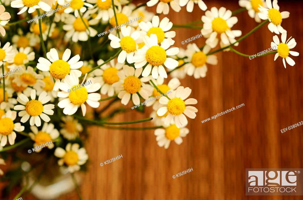 Small Daisy Flowers On Dark Brown Striped Background Stock Photo Picture And Low Budget Royalty Free Image Pic Esy 038063222 Agefotostock Over 6,243 brown daisy pictures to choose from, with no signup needed. 2