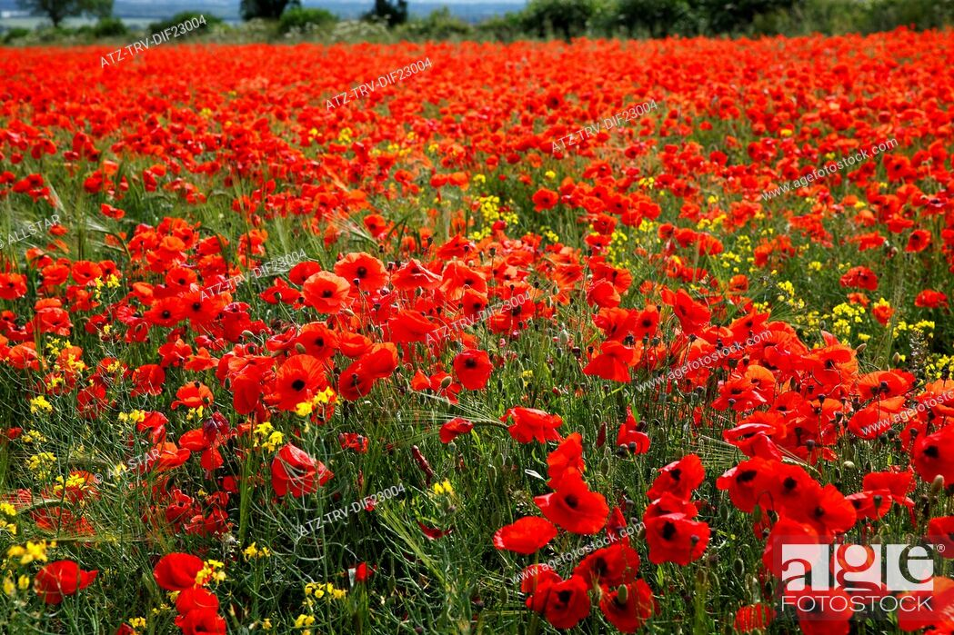Stock Photo: RED POPPIES IN FIELD; SCARBOROUGH, NORTH YORKSHIRE. ENGLAND; 14/07/2013.