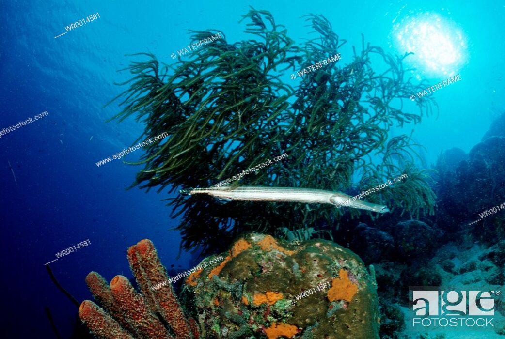 Imagen: Trumpetfish , Aulostomus maculatus, Caribbean Sea, Tobago.