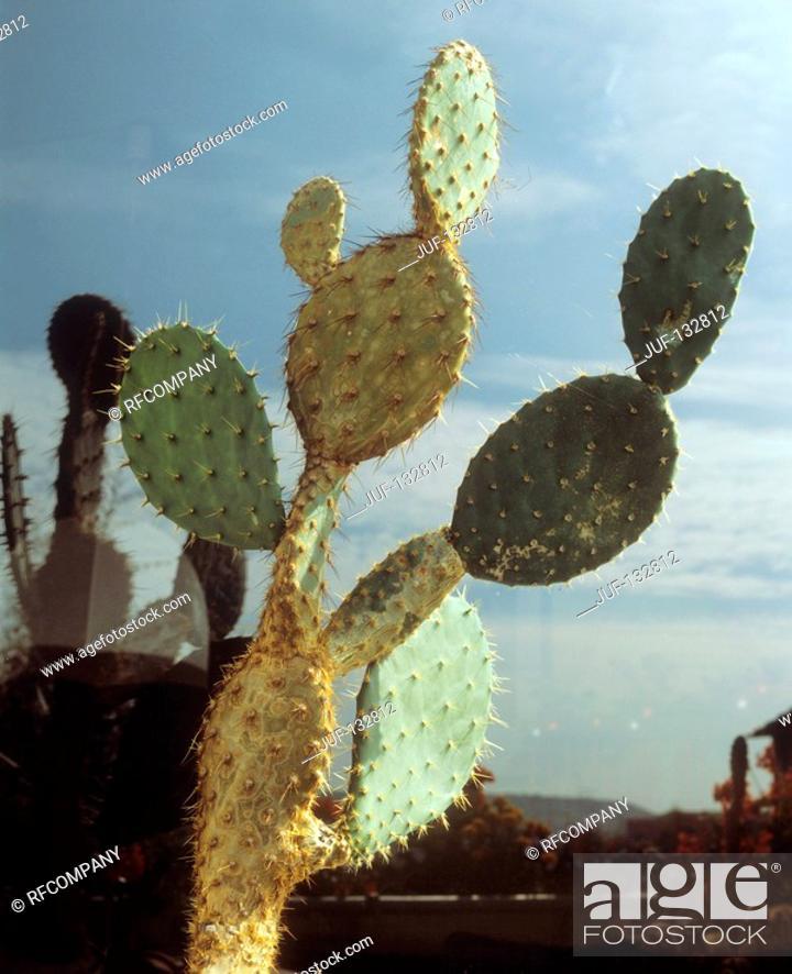 Stock Photo: prickly pear / Opuntia.