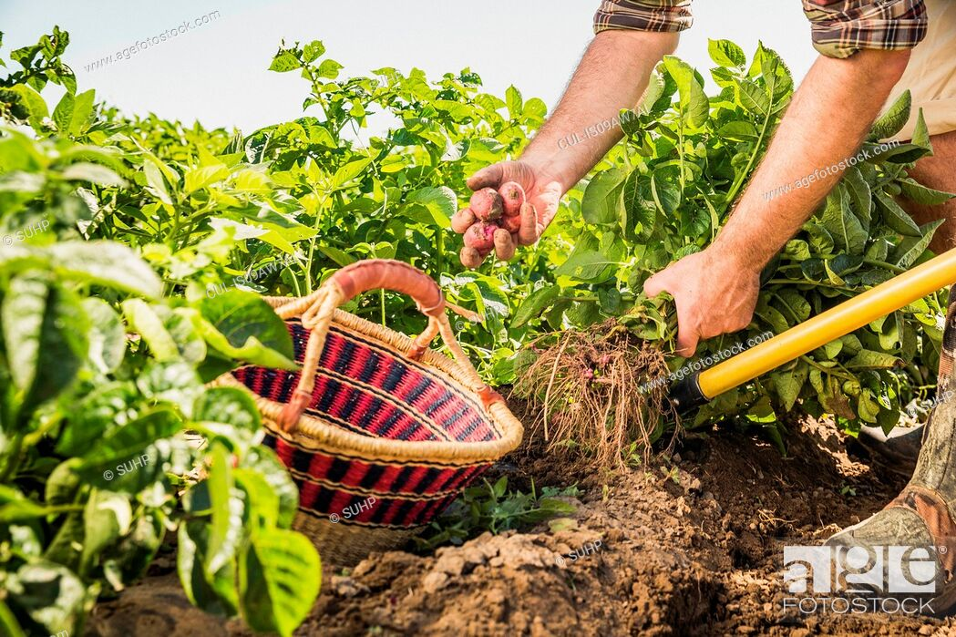 Stock Photo: Cropped view of man harvesting fresh vegetables from vegetable garden.