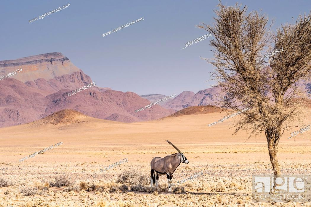 Stock Photo: Oryx. Gemsbok. (Oryx gazella). Namib Desert. Namib-Naukluft Park. Namibia.