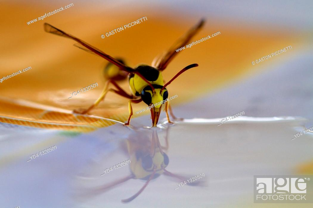 Photo de stock: Social Wasps Family vespidae, drinking water, Mabuasehube, Kgalagadi Transfrontier Park, Kalahari desert, Botswana.