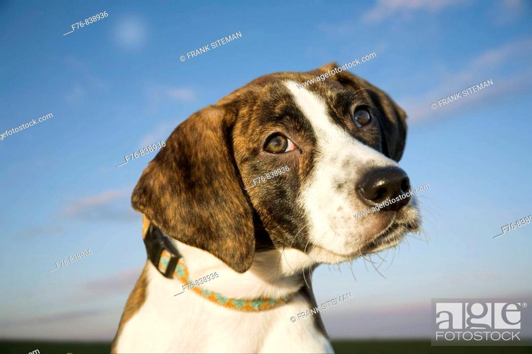 Stock Photo: 4 month old Plott Hound, the only American hound without British ancestry.