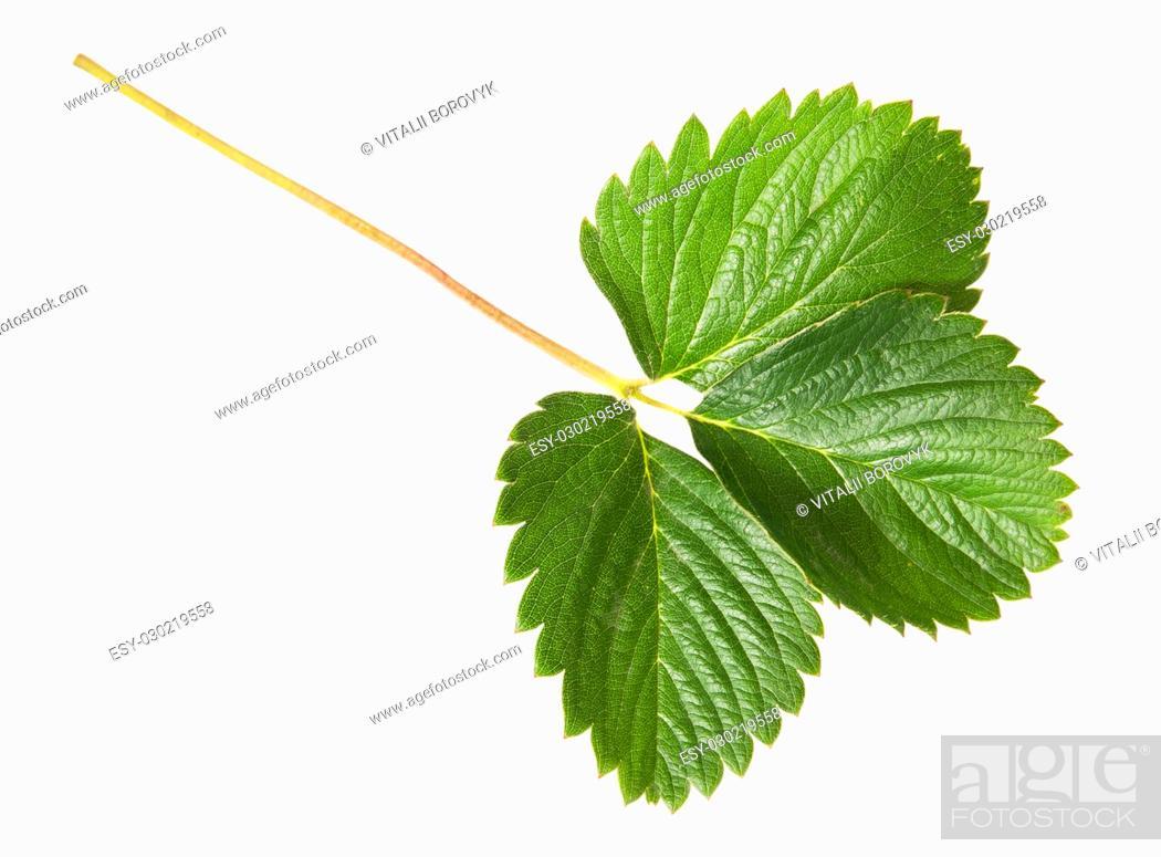 Stock Photo: Green strawberry leaf isolated on white background.