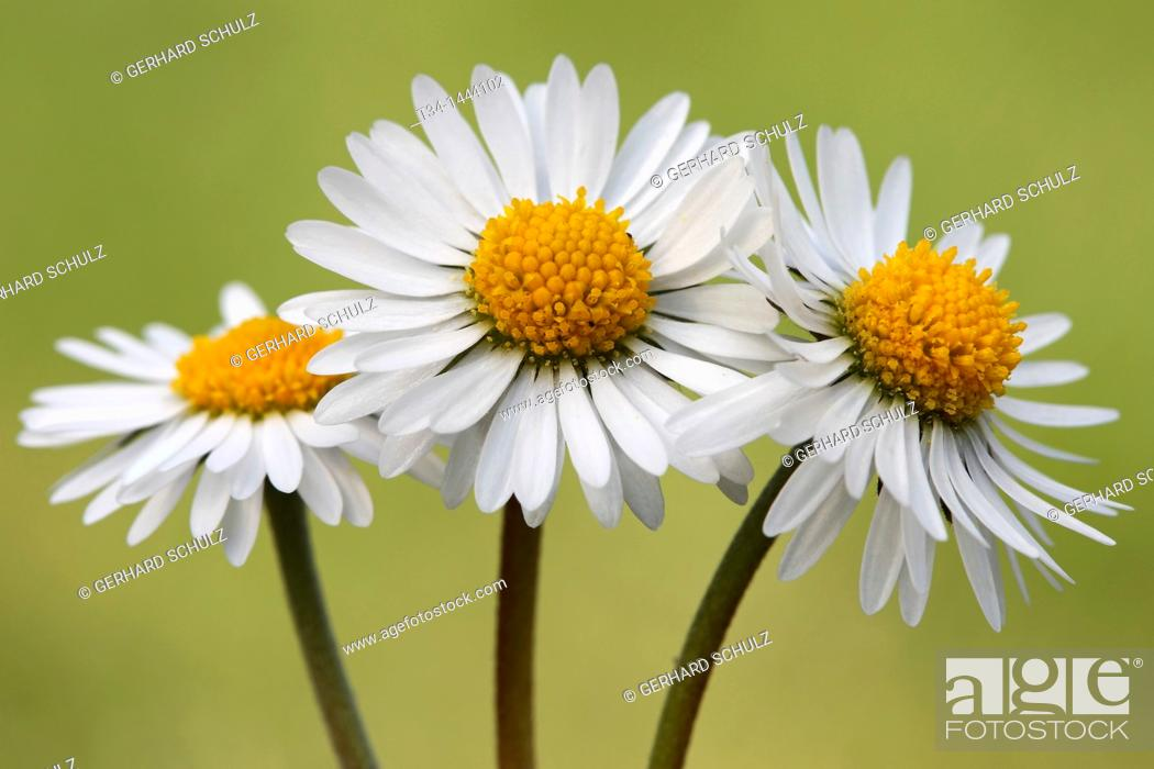 Stock Photo: Daisy, Bellis perennis, Schleswig-Holstein, Germany.