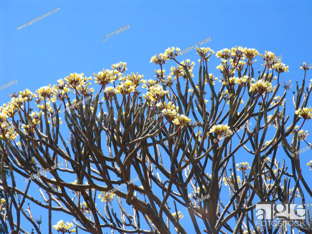 White Magnolia Flower Bedasa Maharashtra India Stock Photo