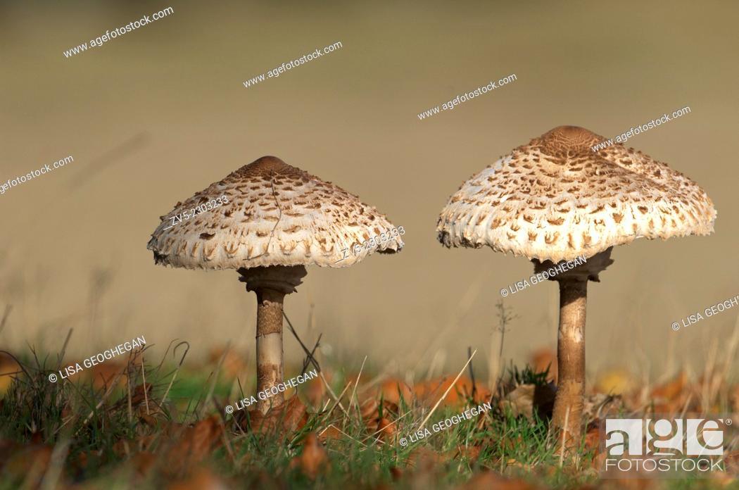 Stock Photo: Parasol Mushroom-Macrolepiota procera.