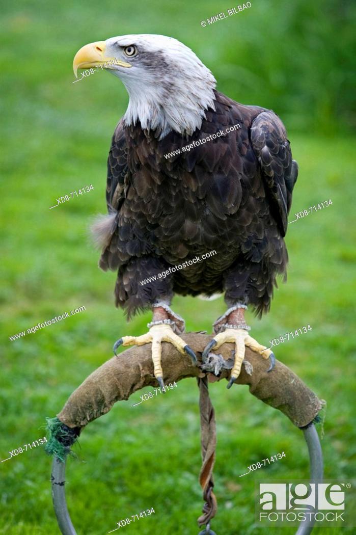 Stock Photo: Bald Eagle, American Eagle (Haliaeetus leucocephalus) on a zoo perch.