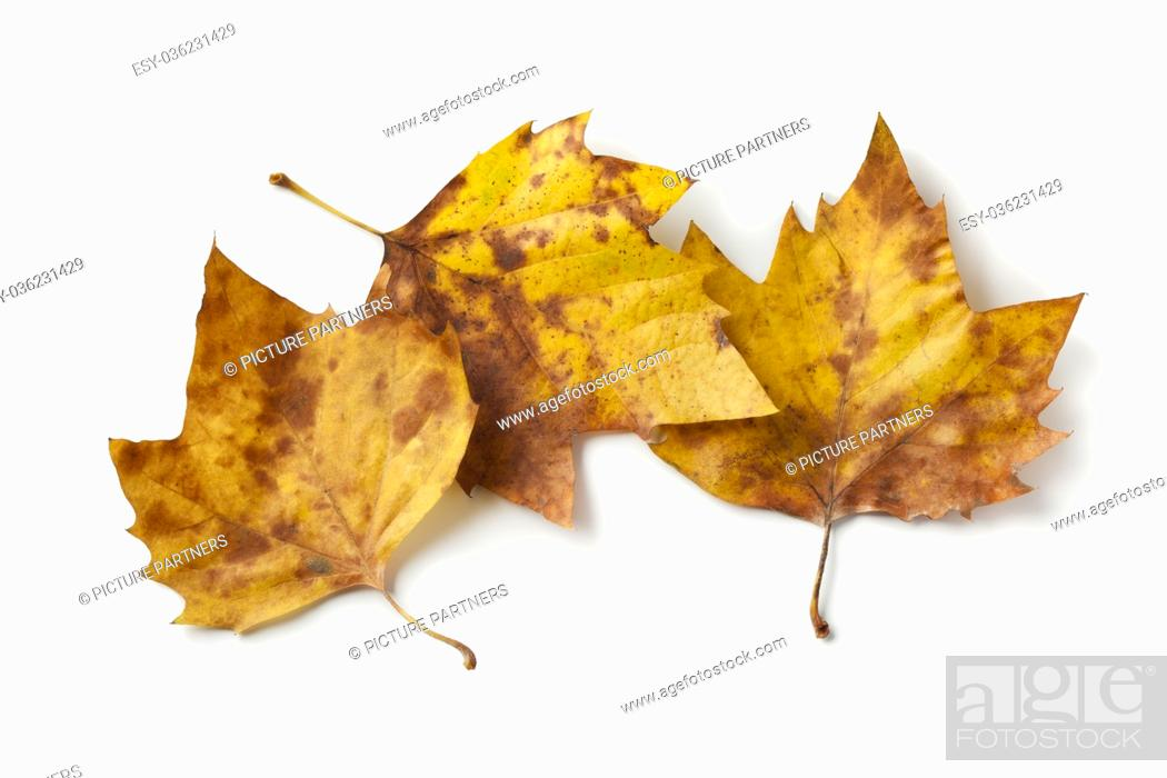 Photo de stock: London plane tree leaves in autumn color on white background.