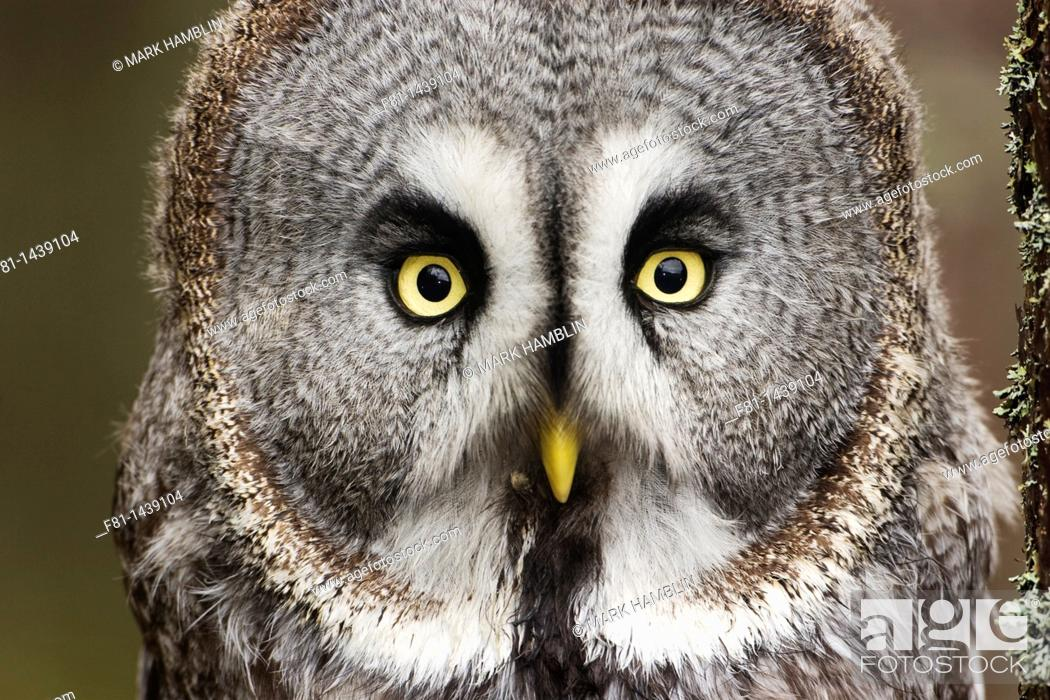Stock Photo: Great grey owl Strix nebulosa perched in pine forest controlled conditions  Scotland  February.