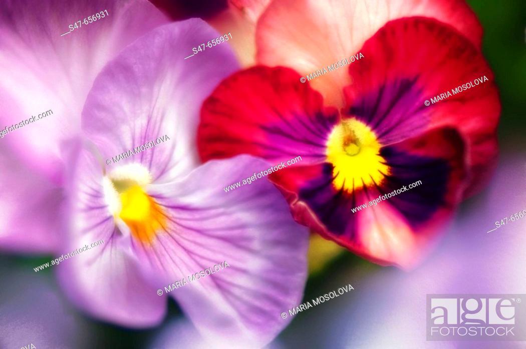 Stock Photo: Two Pansy Flowers. Viola x wittrockiana. May 2007, Maryland, USA.