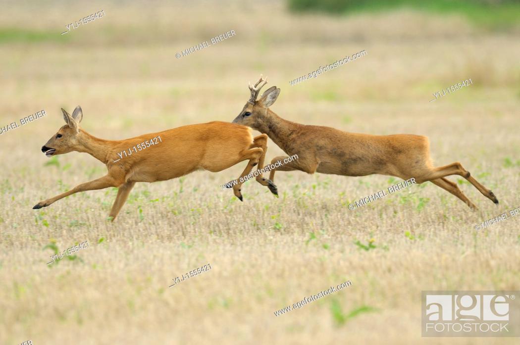 Stock Photo: Running Roe deers, Capreolus capreolus, Hessen, Germany, Europe.