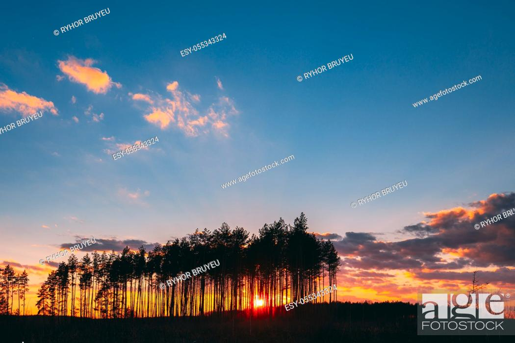 Stock Photo: Sunset Sunrise In Pine Forest. Sun Sunshine In Sunny Spring Coniferous Forest. Sunlight Sun Rays Shine Through Woods In Landscape Bright Colorful Dramatic Sky.