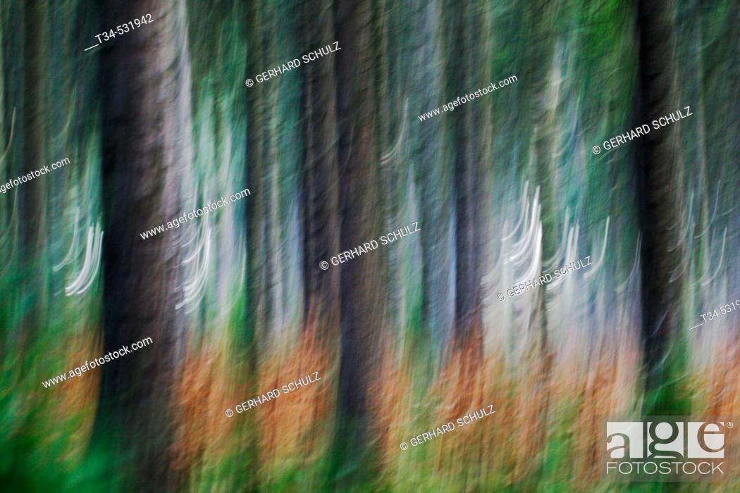 Stock Photo: Norway Spruce Forest. Gemeine Fichte (Fichtenwald). Picea abies. Schleswig-Holstein, Germany.