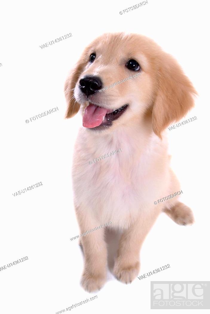 Stock Photo: looking up, animal, domestic animal, golden retriever, dog, close up, pet.