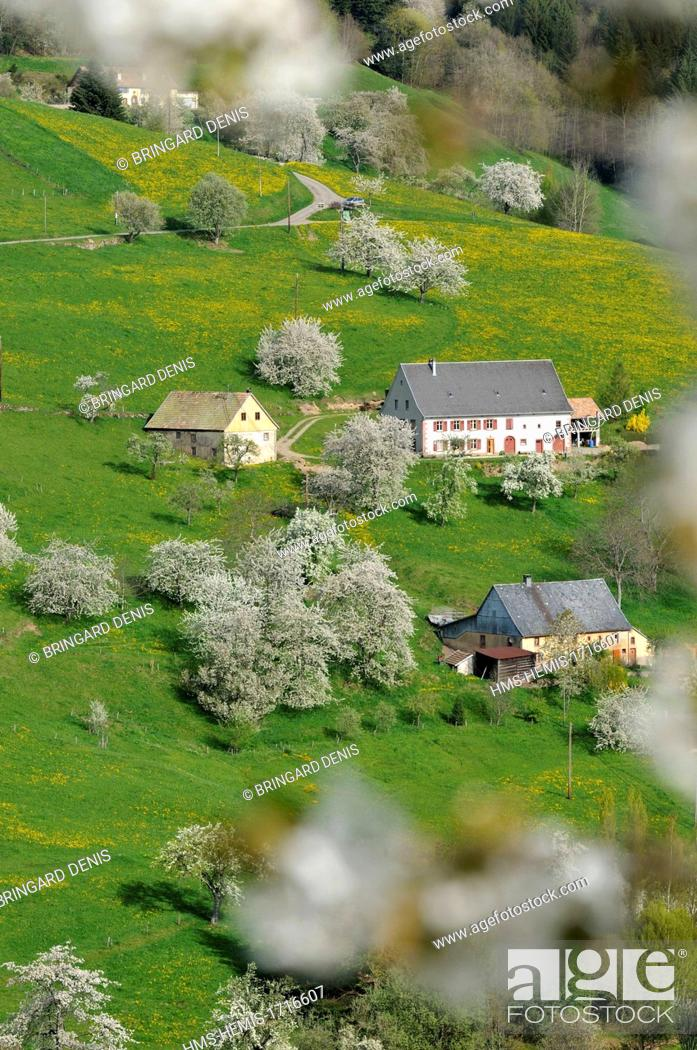 Stock Photo: France, Haut Rhin, near Orbey, farms, pastures and cherry blossoms.