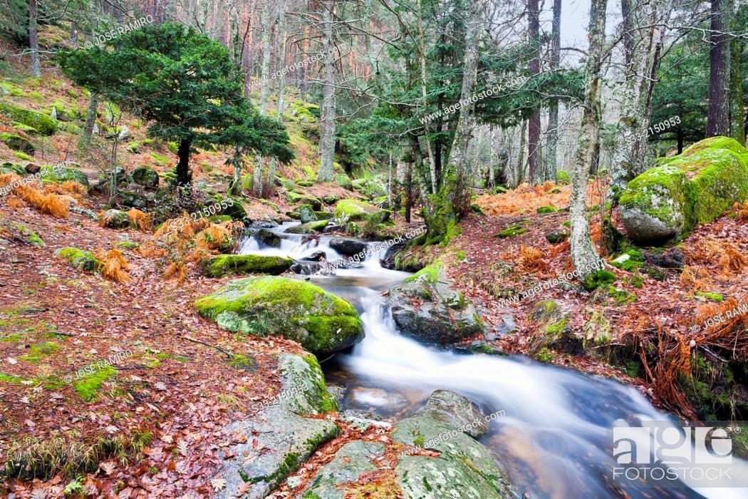 Stock Photo: Sestil stream in Canencia birch. Sierra de Guadarrama. Madrid. Spain.