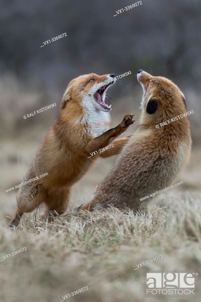 Stock Photo: Red Fox / Rotfuchs ( Vulpes vulpes ), two adults, standing on hind legs, threatening each other with wide open jaws, territorial behavoir during rut, wildlife.