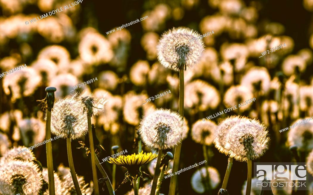 Imagen: Dandelion seed heads glow with the lights as the sun sets in the evening.