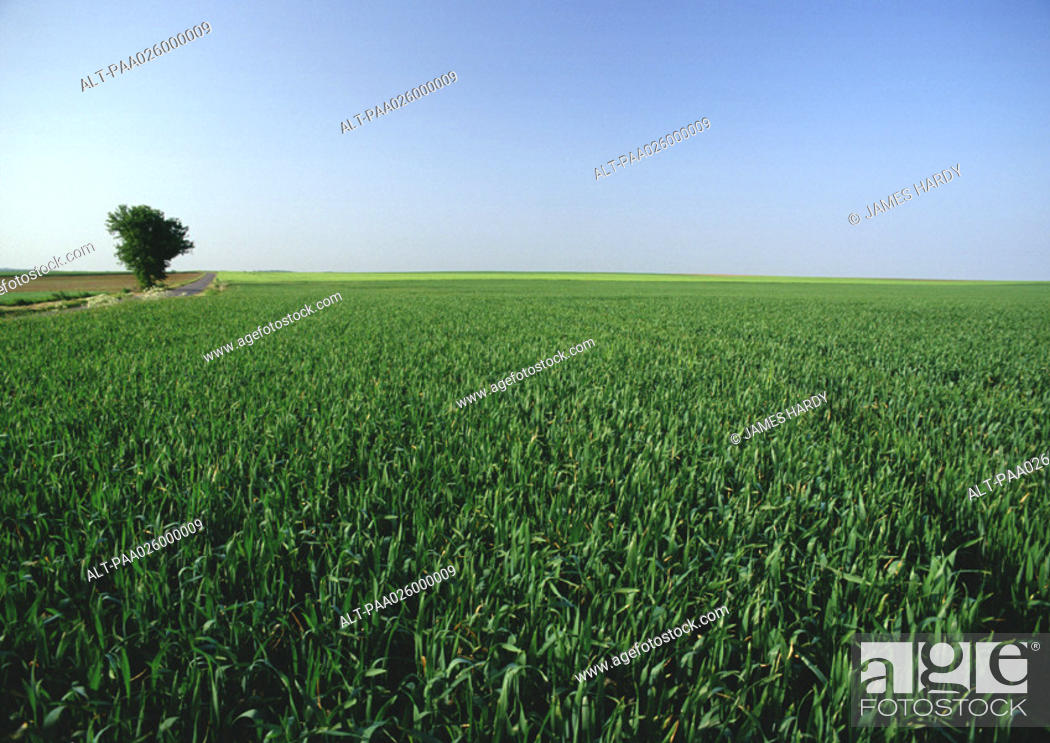 Stock Photo: France, picardy, crop field with single tree.