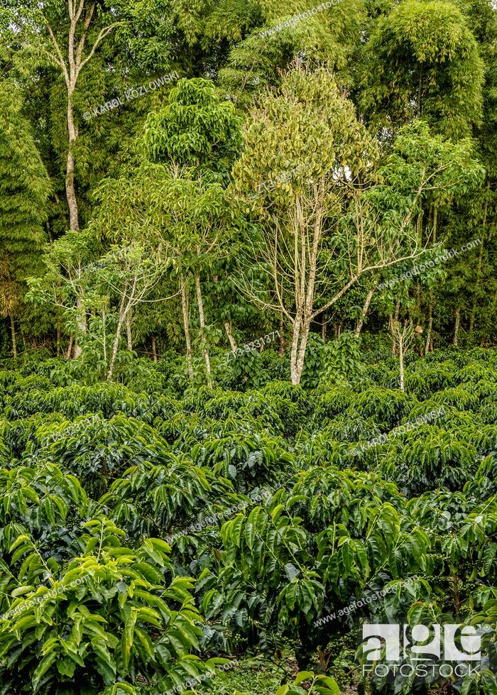 Stock Photo: Coffee Field, San Agustin, Huila Department, Colombia.