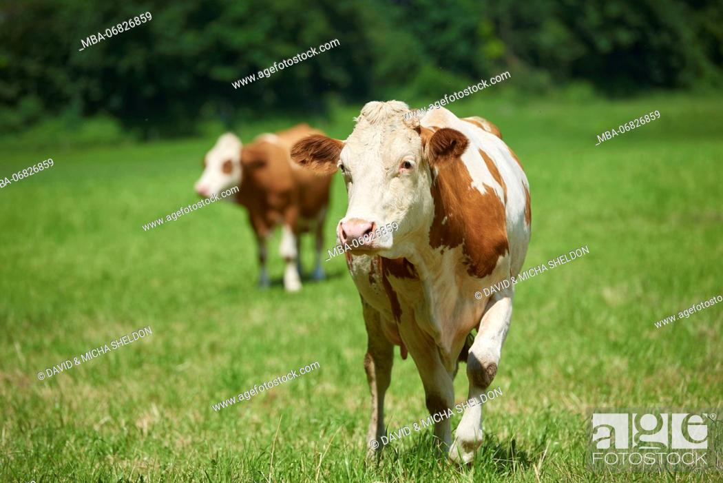 Stock Photo: domestic cattles, Bos primigenius Taurus, meadow, frontal, stand, looking into camera.