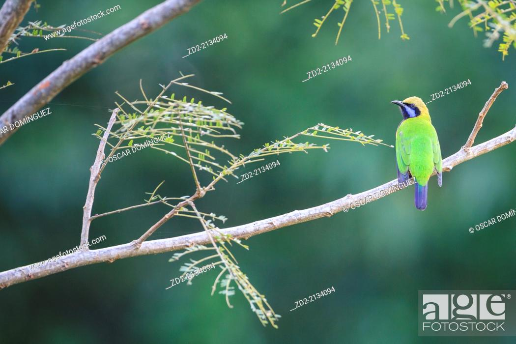 Stock Photo: Orange-bellied Leafbird (Chloropsis hardwickii) male perched on branch. Doi Lang. Doi Pha Hom Pok National Park. Thailand.