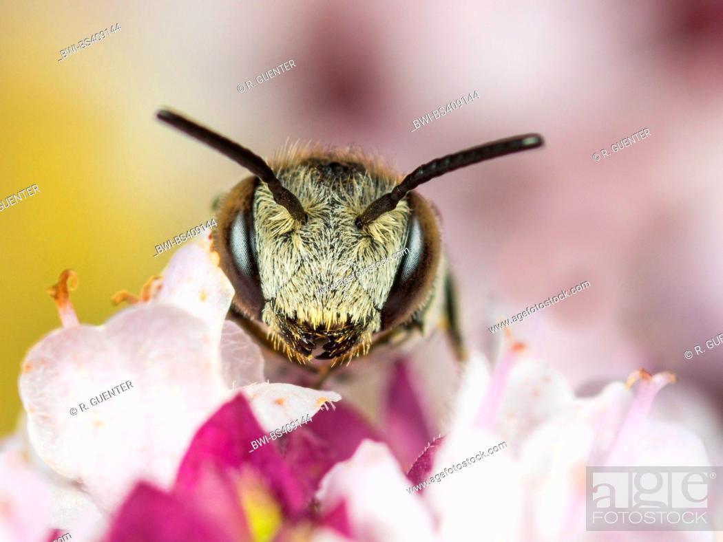 Stock Photo: brood parasitic bees (Coelioxys echinata), Female foraging on Oregano (Origanum vulgare), Germany.