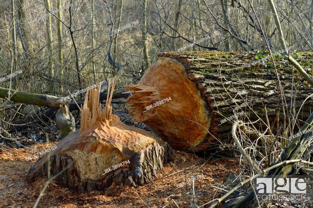 Tree Chewed Down By A Beaver Lobau Donau Auen National Park Lower