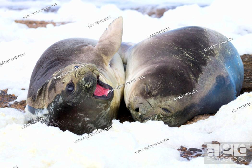 Imagen: Elephant seals on beach close up, Patagonia, Argentina. Isla Escondida beach. Argentinian wildlife.