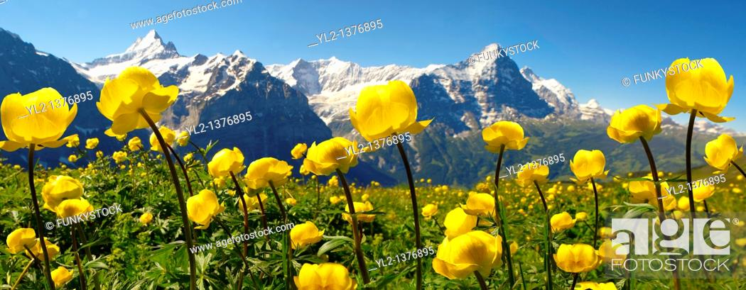 Stock Photo: Alpine Globeflower Trollius Europaeus  meadows at 6000ft  2500Mts with the Eiger behind  First, Grindelwald, Bernese alps.