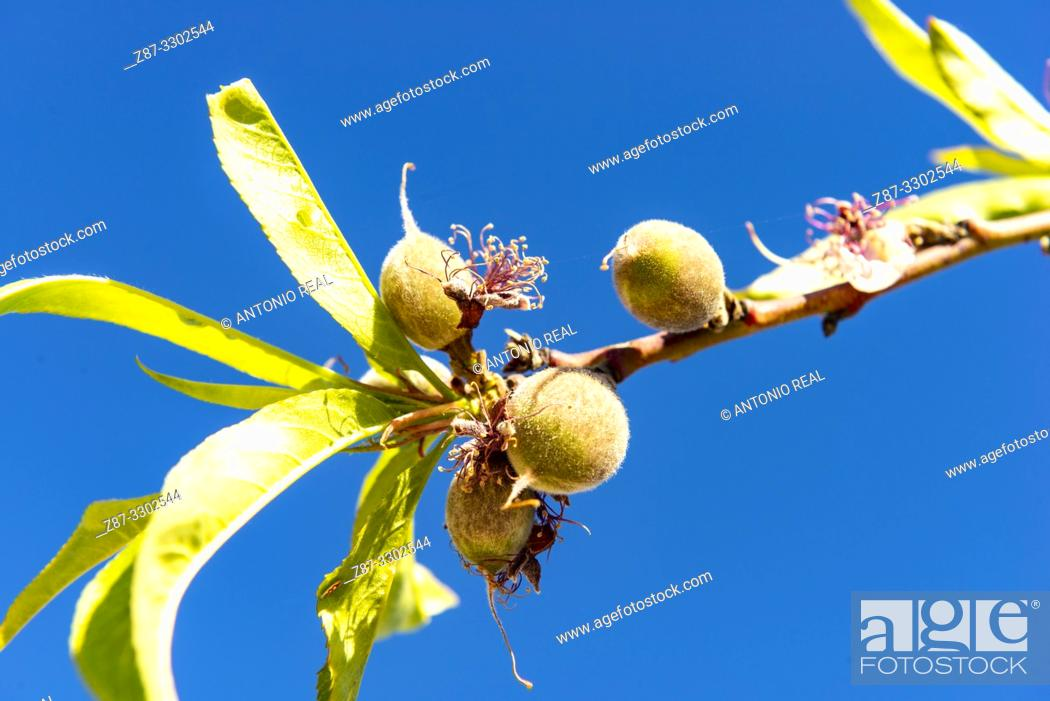 Stock Photo: Flowering. Peach trees in bloom. Cieza. Murcia. Spain.