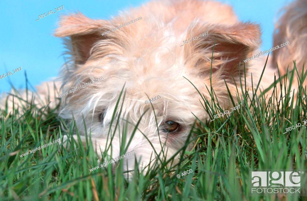 Stock Photo: Irish Glen of Imaal Terrier.