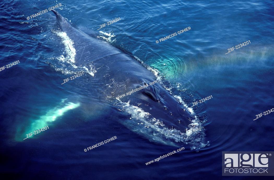 Stock Photo: Humpback whale.Megaptera novaeangliae.Resting (logging). Stellwagen Bank, Gulf of Maine, Atlantic Ocean.