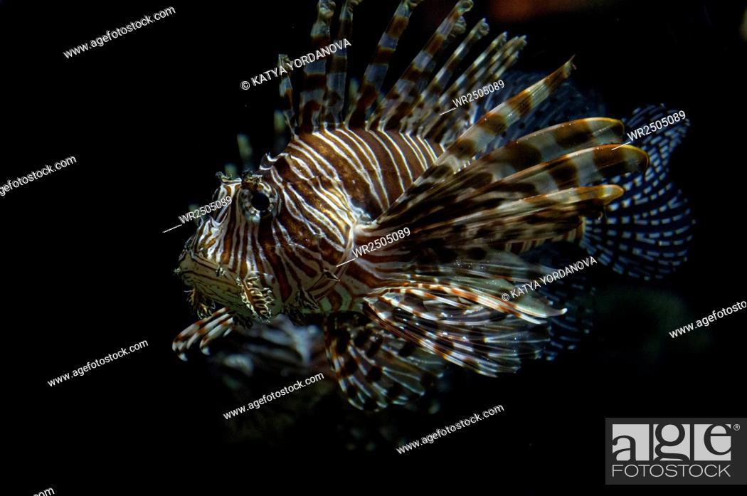 Stock Photo: Lionfish.